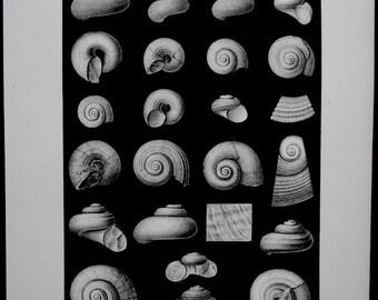 1905 Fossil Shells. Lithograph and Drawing by Barkentin. Shells: Poleumita, Hormotoma, Eotomaria, Coelidium, etc. Original Antique Print