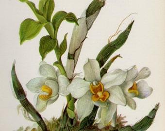 Vintage Botanical Orchid Print White Flower Art White Cottage Home Decor Chysis Bractescens  Gift for Gardener Wedding Anniversary 3678