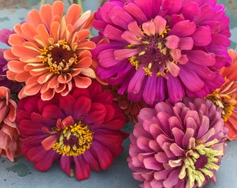 Zinnia Seed Mix, Heirloom Zinnias in Mixed Colors, Premium Cut Flower Zinnia Mix, Great for Market Gardens and Flower Farm