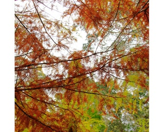 Autumn Leaves In Australia, 5x5 photograph. Home Decor, Abstract, Autumn Glow, Wall Art