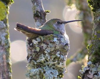 Nesting Anna's Hummingbird