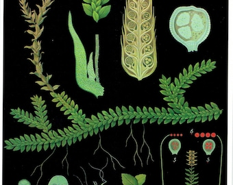 Old School Poster Botany Plant Switzerland, Fern, Moss