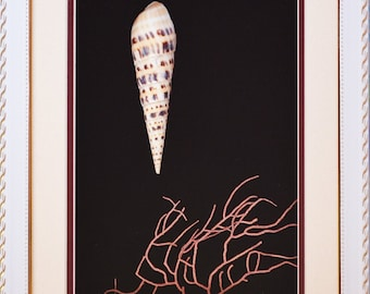 Beautiful Delicate Shell Terebra Maculata with Pink Coral In Quality Shadowbox
