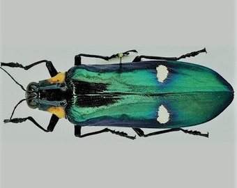 Megaloxantha bicolor assamensis. VERY LARGE 70-80mm Jewel Beetle. Real insect Taxidermy
