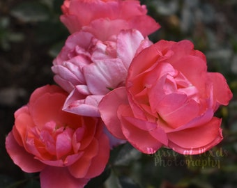 Pink Roses Garden Photograph Digital Download
