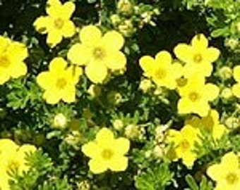 Potentilla fruticosa, Goldfinger  Live Plants