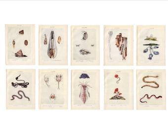 c. 1907 set of 10 ANTIQUE SEA LIFE prints - original antique ocean animals - shell - squid - shrimp - coral - sea worm - instant collection!