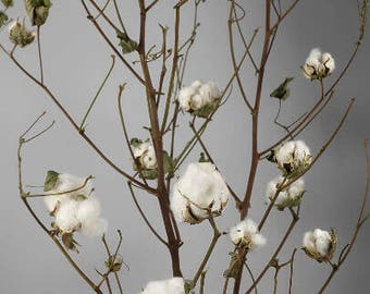 Cotton Branches Real-Cotton Branches-Real Cotton Stems-Cotton Boll Stems-Farmhouse Cotton Decor-Cotton Stalks-Cotton Stems-Farmhouse Cotton