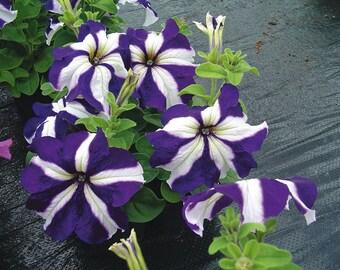 1,000 bulk pelleted petunia seeds Tango Blue Star Petunia Seeds flower seeds