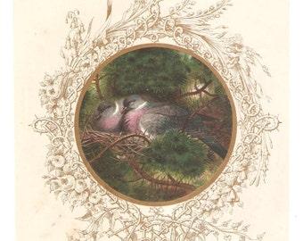 Antique Stock Dove Illustration
