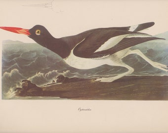 Vintage 1950's Audubon Print, Oystercatcher , Commentary by Roger Tory Peterson, Ornithology, Rustic Decor, Suitable for Framing