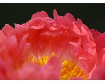 Nature Photograph - Peony Photograph - Flower Art - Spring Art - Open Heart - Flower Photograph - Floral Art -Oversized Botanical Art Print