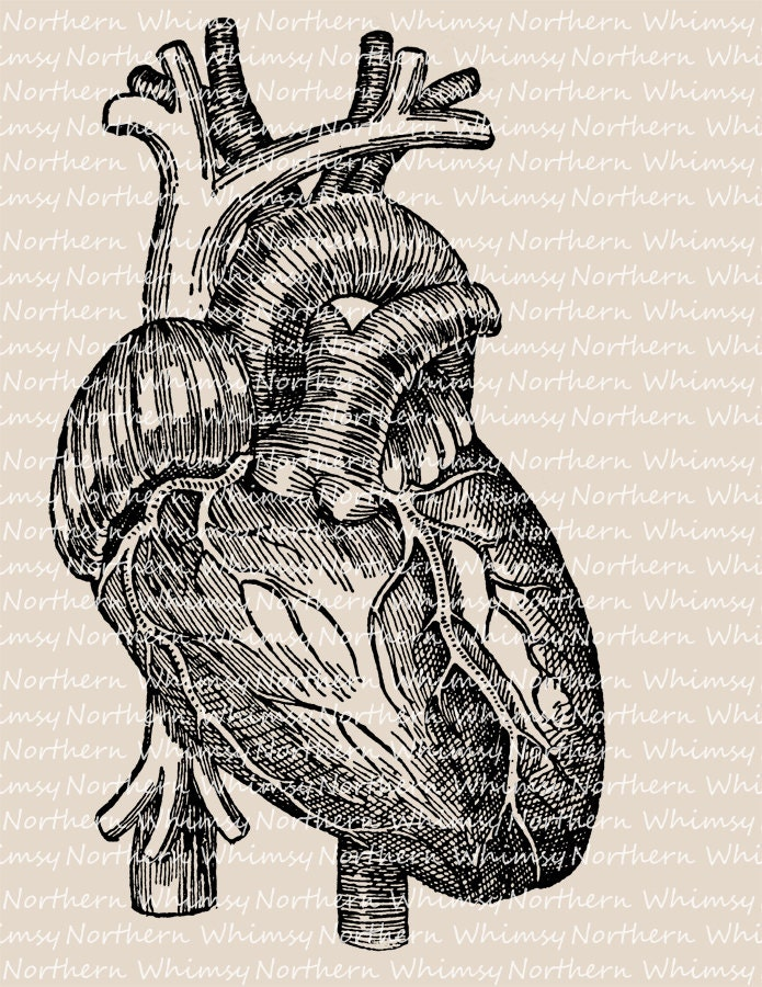Human Heart Illustration Vintage Anatomy Diagram Clip Art Image