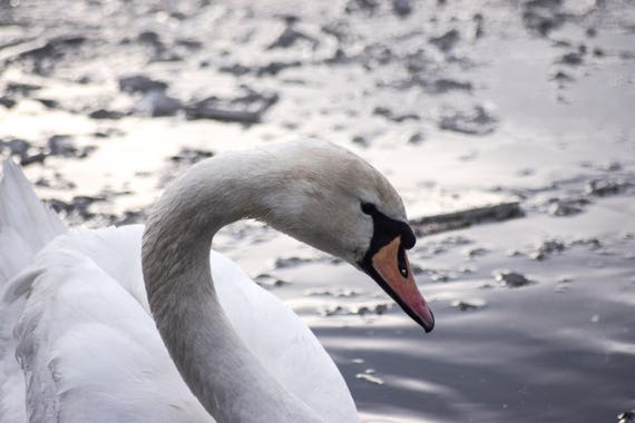 Swan Photography, Swan On Ice Lake, Winter Photography, Winter Print, swan art, swan decor, swan print, pond photography, fine art photo