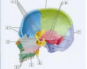 Skull Midsagittasl Section View Anatomy Flash Card by Frank H. Netter to Frame or for Paper Arts, Collage Scrapbooking and MORE PSS 2726