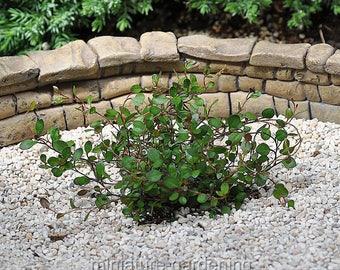 Muehlenbeckia axillaris mini-leaf, Compact, Fairy Vine for Miniature Garden, Fairy Garden