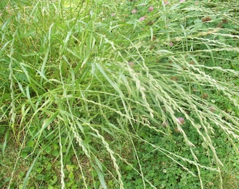 10,000 seeds annual rye grass Free Shipping