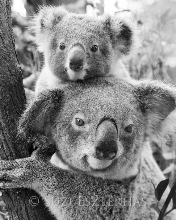 Koala baby and mom photo black and white mom and baby