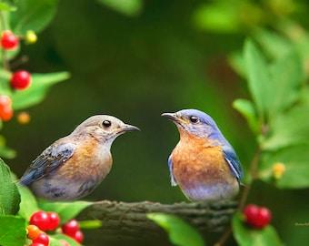 Bluebirds, Eastern Bluebird, Bluebird Picture, Bird Photography, Bird Print, Nature Photography, Bird Art, Fine Art Photography, Wall Art