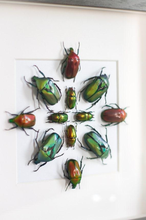 Framed beetles, Lamprima + Torynorrhina + Rhomborrhina