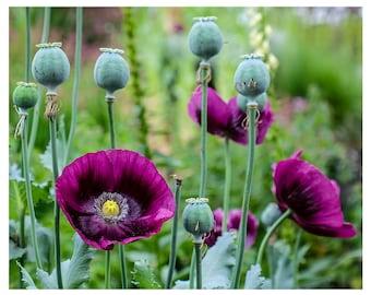 Photo Print of Purple Oriental Poppies in Garden from DebSladekPhotography