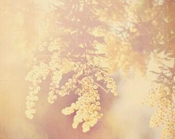 nature photography, acacia tree photograph, yellow baby room decor, warm hazy sunshine, large wall art 24x36 print