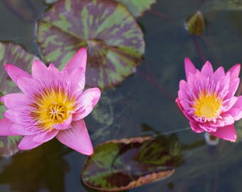 Pink Water Lillies Photo