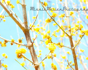 "Yellow Blooms Cherry Tree Photography Printable Instant Download Digital Download Art Yellow Branches Spring Photo Nature ""Bright Outlook"
