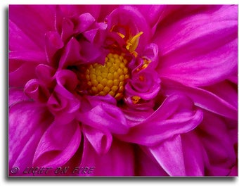 Chrysanthemum, Mum flowers, Chrysanths. Chrysanths, Purple Mum flower in full bloom, Downloads for printing Photos up to 30x40 Inches 300dpi
