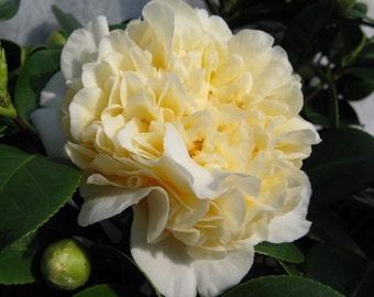 Jurys Yellow Camellia - Live Plant - Trade Gallon Pot