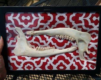 Framed large Deer Jaw Bones