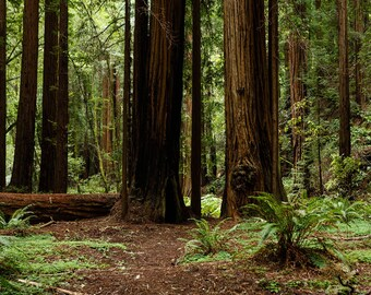Vinyl Photography  Backdrop Photo Prop - Redwoods