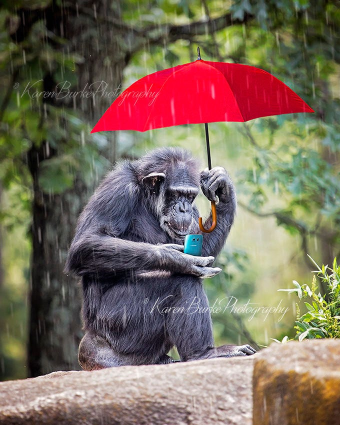 Funny Monkey Photography Print Chimpanzee Photography Funny