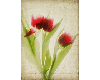 Tulip Art,  Botanical Print,  Scanned Flower, Sheer, X-ray, Red Floral Wall Art, French Country Decor