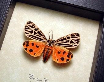 Real Framed Rare Apantesis Virgo The Virgin Tiger Moth 8462
