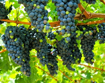 Wine Grapes on Vine #2 (Art Prints available in multiple sizes)