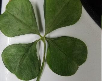 Legit Four Leaf Clover