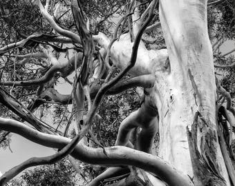 Southern Highlands Ghost gum tree, NSW, Australia