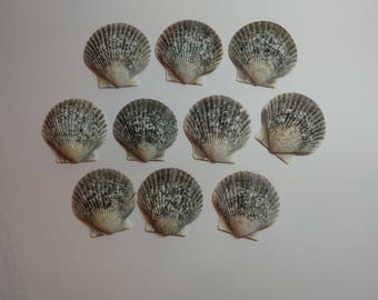 Genuine Scallop Shells - From Crystal River, FLorida - Freshly Caught by me - Shells - Seashells - Grey Seashells - 10 Natural Shells  #105