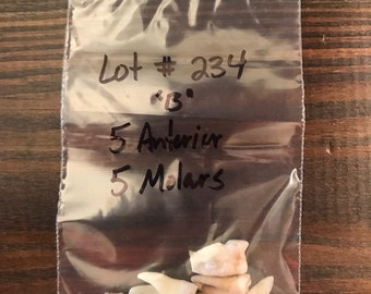 Real Human Teeth Lot#234
