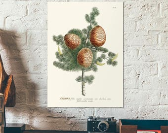 Vintage Botanical Herbal Cedar tree illustration - Cedrus - Educational chart diagram - Old plant poster