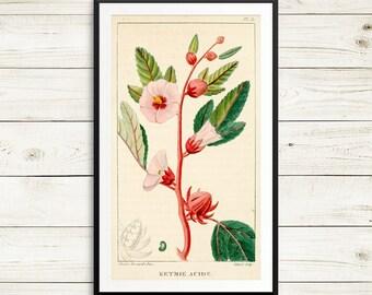 Roselle, Hibiscus sabdariffa, rosella fruit, vintage book illustrations, botanical art prints, vintage botanical prints, antique book art