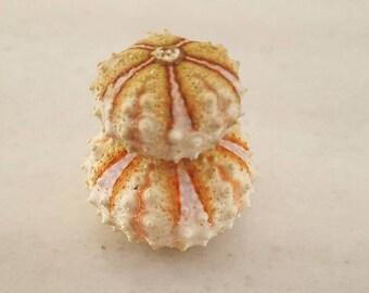 2pcs  Coelopleurus maillardi  sea urchins,Summer collection, a real sea treasure.
