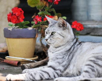 Gray cat on the table in the pose of the Egyptian Sphinx with a red flower in a pot and a garden tool on the background