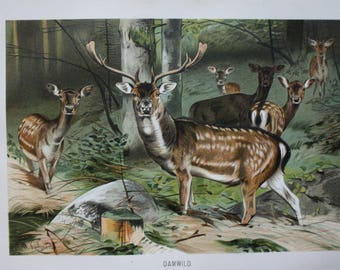 old antique print fallow deer 1895