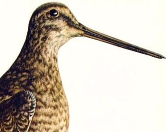 Great Snipe Capella Media Bird European Ornithology Vintage Natural History Lithograph Print 1960s Illustration To Frame 42