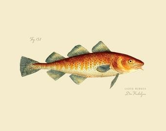 """Vintage Fish """"Der Kabeljau"""" Druck 8 x 10 P188"""
