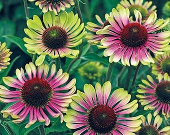 Echinacea Coneflower Green Twister Seeds, Two Tone Brilliance Blooms First Year, 10 seeds
