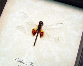 Real Framed Celithemis Amanda Dragonfly Amanda Pennant 2557
