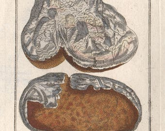 Agaricus albus botanical herbal engraving, circa 1770